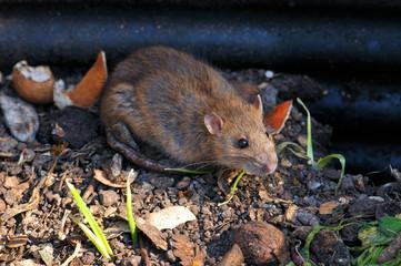 Ratte auf Kompost