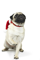 Adorable pug in a Christmas Santa hat