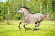 Grey horse runs gallop on the meadow