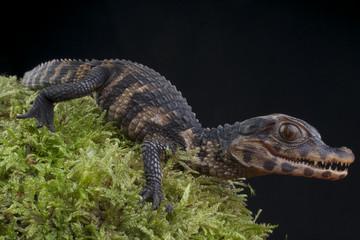 Dwarf Caiman / Paleosuchus palpebrosus