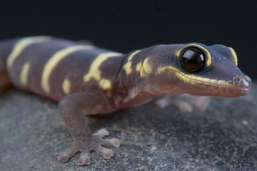 Velvet gecko / Oedura monilis
