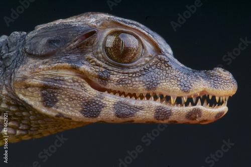Foto op Plexiglas Krokodil Dwarf Caiman / Paleosuchus palpebrosus