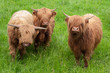 Three Highland Cows