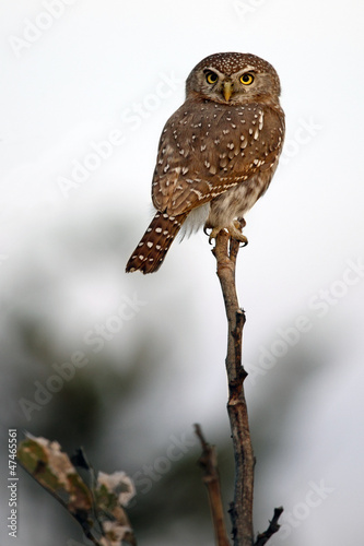 Fotobehang Uil A Pearl-Spotted Owlet (Glaucidium perlatum) Botswana