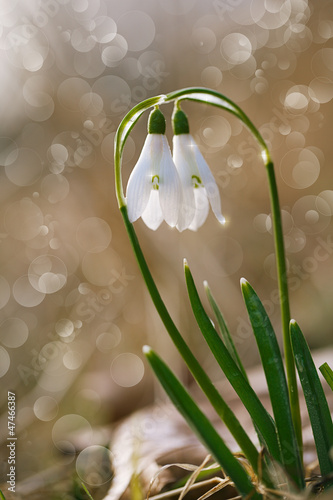 two lovely snowdrop flowers soft focus, perfect for postcard