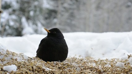 Blackbird lunch
