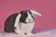 Mini-lop rabbit with pink background