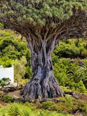 Dragon Tree(Drago Milenario), Icod de los Vinos, Tenerife