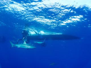 Caribbean reef shark (Carcharhinus perezi) and diver