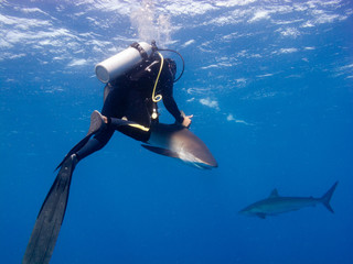 Diver catching a Silky shark (Carcharhinus falciformis)