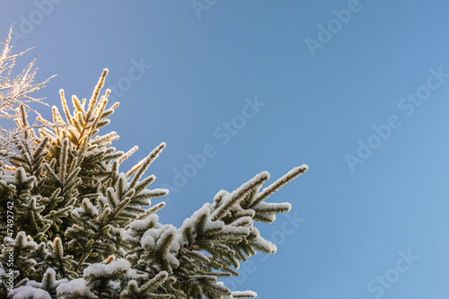 Snow covered fir branches in winter