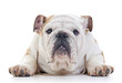English bulldog dog laying