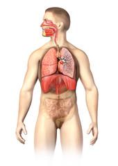 Man anatomy  Respiratory system cutaway.
