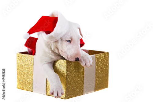 Sweet puppy in Christmas present box isolated over white