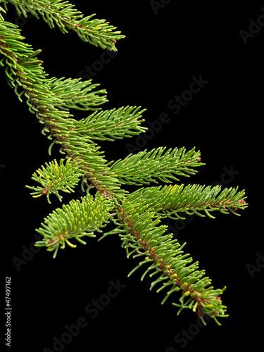 Fir tree barnch
