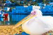 Petros the famous pelican of Mykonos Island Greece