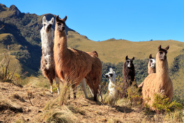 Alpacas at the Pasochoa volcano, Ecuador