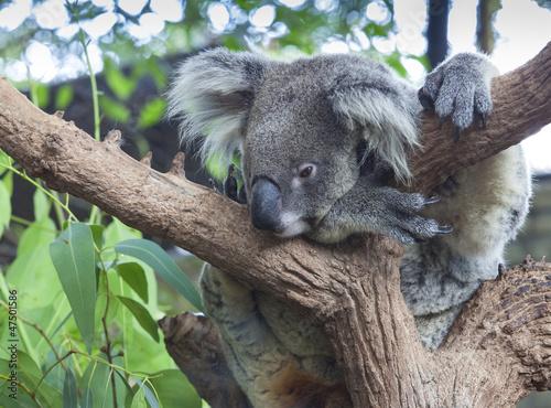 Foto op Aluminium Koala Curious koala