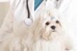 Cute maltese dog and vet