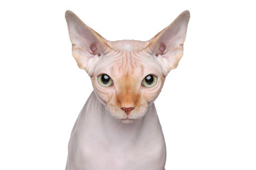 Sphynx cat portrait on white background
