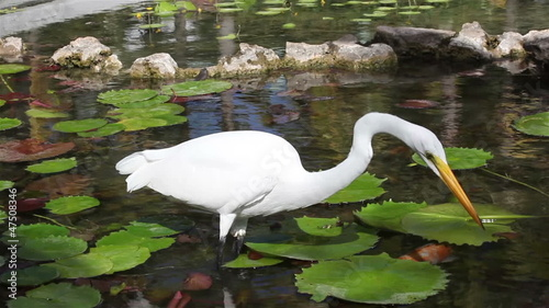 Average white Heron in an artificial pond.