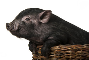 a cute little black pig  in a basket - white background