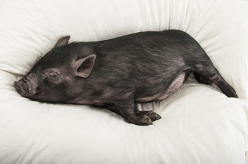 a cute little black pig sleaping