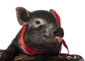 a cute little black pig sitting in a basket