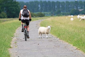 Radfahrer begegnet Schaf