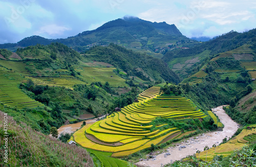 terrced rice fields - gold terraced rice fields with streams in