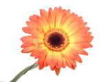 Gerbera flower. Hight res poster