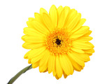 Gerbera flower. Hight res. poster