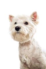 Westie terrier portrait