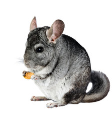 Grey chinchilla. isolated.
