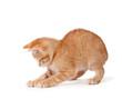 Orange kitten playing on a white background.