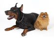 doberman and Pomeranian on white
