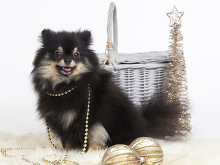 Pomeranian christmas dog