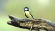 Kohlmeise, Parus major