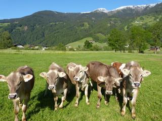 Kälber Milchkühe