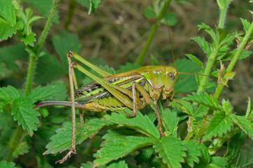 Grasshopper 25
