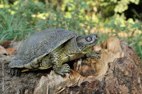 Maschio adulto,Emys orbicularis