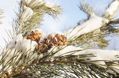 Cedar cones on a snow covered branches