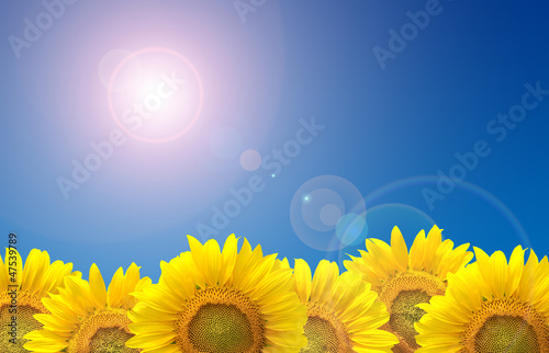 Field of sunflowers, blue sky and sun flare