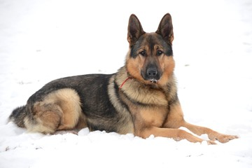 A portrait of german shepherds in snow