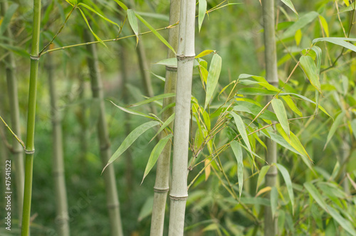 Foto op Canvas Zen Bamboo forest background