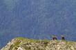 Chamois buff or goat-antelope Rupicapra rupicapra