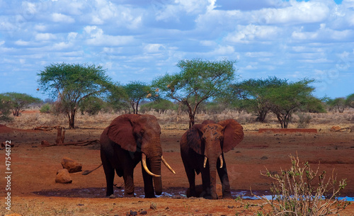 Two elephants drink, surrounded by red earth ( Kenya )