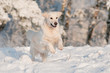 golden retriever dog jumps in the snow