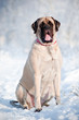 english mastiff huge dog portrait