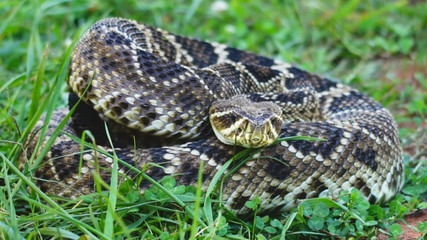 Eastern Diamondback Rattlesnake Coiled